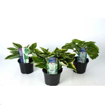 Hosta in varieties