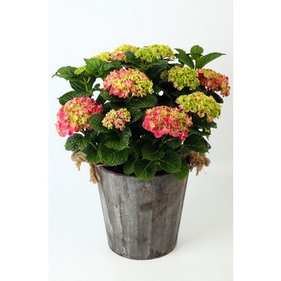 Hydrangea in Wooden Pot with Rope Ears
