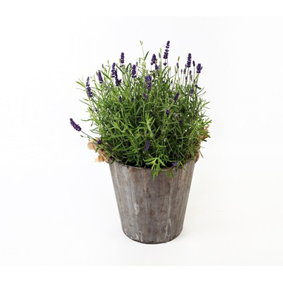 Lavender-in-Wooden-Pot