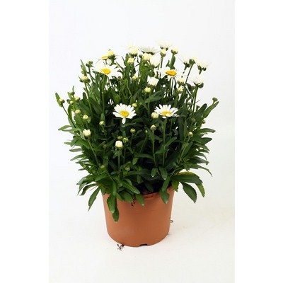Leucanthemum-Maximum-Snow-Lady