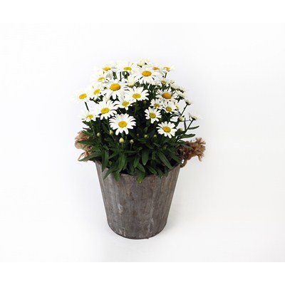 Leucanthemum in Wooden Pot