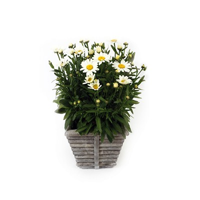 Leucanthemum-in-Square-Rib-Pot