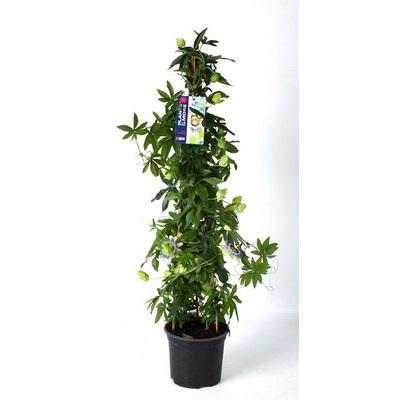 Passiflora 3-stok