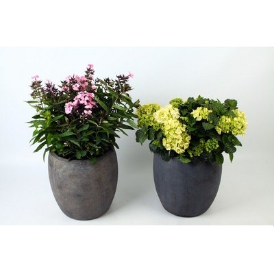 Phlox-Paniculata--Hydrangea-in-Ball-Pot