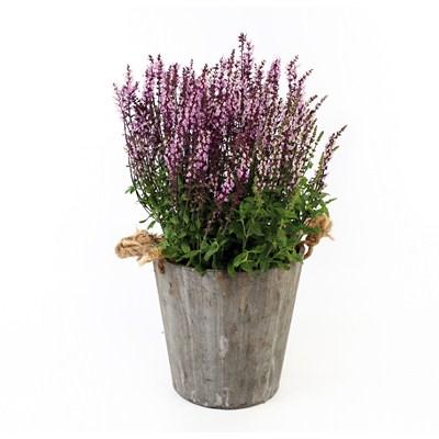 Salvia in Wooden Pot