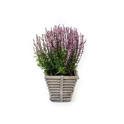 Salvia in Square Wooden Rib Pot