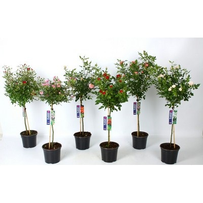 Roses on Stem in varieties