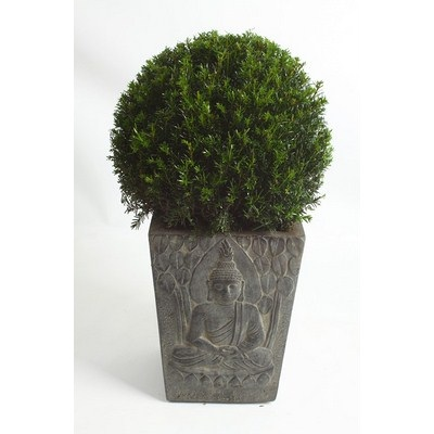 Taxus-Ball-in-Buddha-Pot