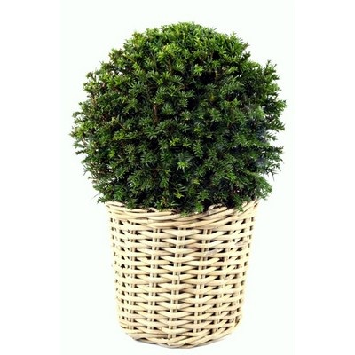 Taxus-ball-in-Wicker-Basket