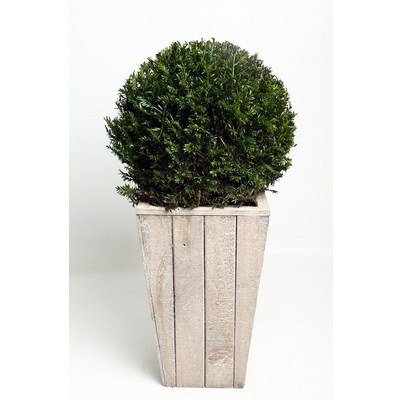 Taxus-Ball-in-Scaffolding-Wooden-Pot