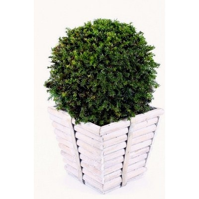 Taxus-Ball-in-Square-Wooden-Pot