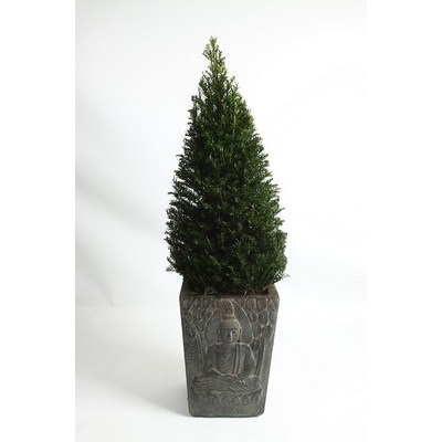 Taxus-Pyramid-in-Buddha-Pot