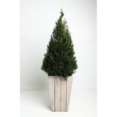 Taxus-Pyramid-in-Scaffolding-Wooden-Pot