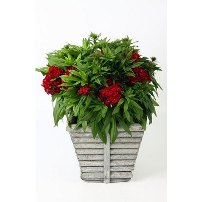 Dianthus in Square Wooden Pot