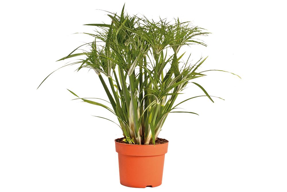 Cyperus Percamenthus
