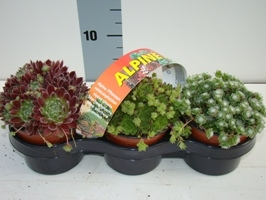sempervivum-3pack-266x200